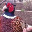 Продам   фазанов,  цесарок