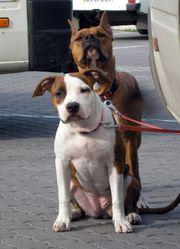 Клубные щенки Американского Стаффордширского Терьера