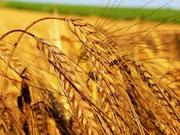 Продам пшеницу и подсолнечник!