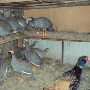 Продам    фазанов,  цесарок,  пуховых кур,  огарей