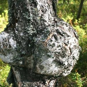 Кап дерева (клён,  берёза,  каштан)