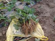 Рассада клубники (земляники садовой)