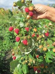 Продам рассаду малины
