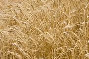 Куплю пшеницу рапс ячмень